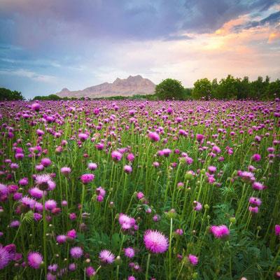 گلهای دشت بابا سلطان در دامنه کوه هیکل